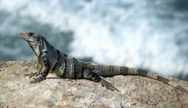 Iguana, Lizard, Reptile, Animal, Nature, Wild Animals