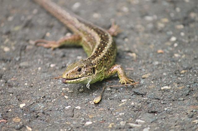 Sand Lizard, Lizard, Lacerta Agilis, Nature, Tongue