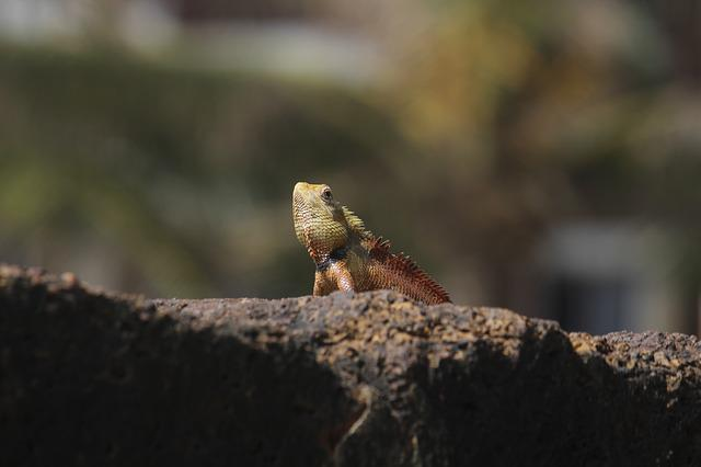 Wildlife, Nature, Animal, Lizard, Wild, Asia