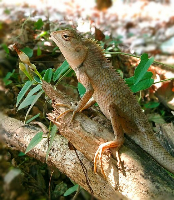 Lizard, Reptile, Flying Dragon, Nature, Wildlife