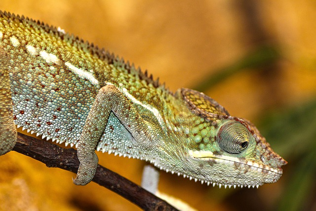 Chameleon, Zoo, Reptile, Lizard, Scale, Scaly, Jungle