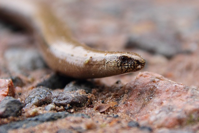 Slow Worm, Reptile, Lizard, Close, Ground, Animal