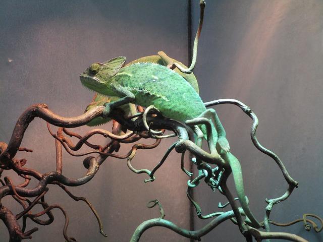 Chameleon, Terrarium, Lizard, Terrarium Animals