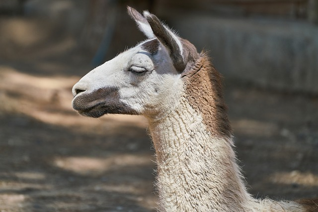 Llama, Animal, Portrait, Head, Fluffy, Sweet, Nature