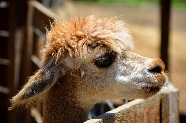 Alpaca, Closeup, Animal, Wool, Fur, Farm, Llama, Head