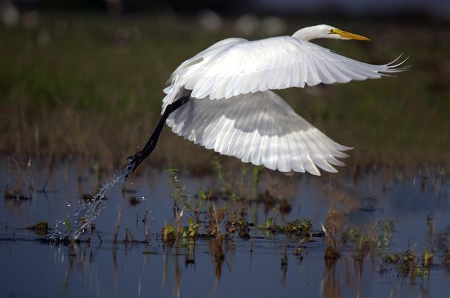 Great Egret, Flight, Ardea Alba, Wader, Birds, Llanos