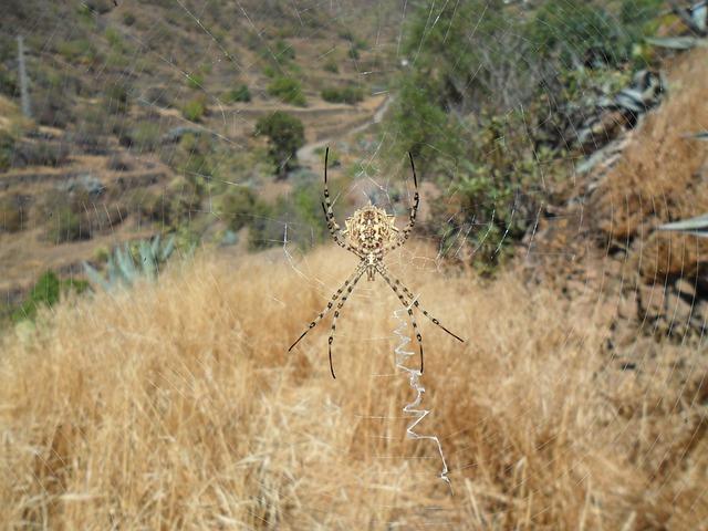 Spider, Argiope, Lobata, Arachnid