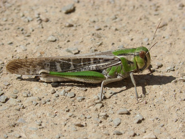 Grasshopper, Green Grasshopper, Lobster, Orthopteron