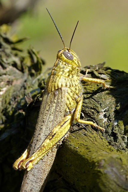 Grasshopper, Lobster, Orthopteron, Green Grasshopper