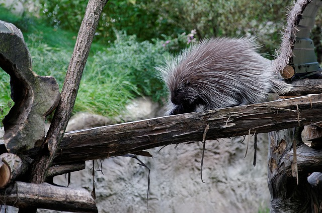 Porcupines, Porcupine, Log, Enclosure, Animal, Zoo