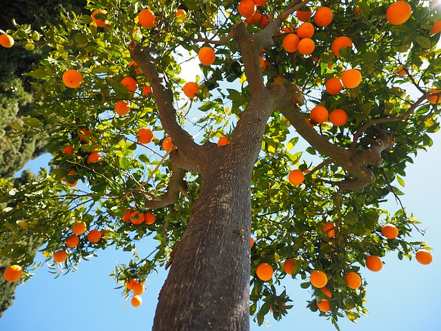 Oranges, Log, Tribe, Orange Tree Trunk, Fruit
