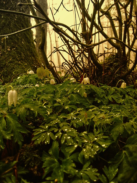 Wood Anemone, Forest, Nature, Leaves, Green, Log, Tribe