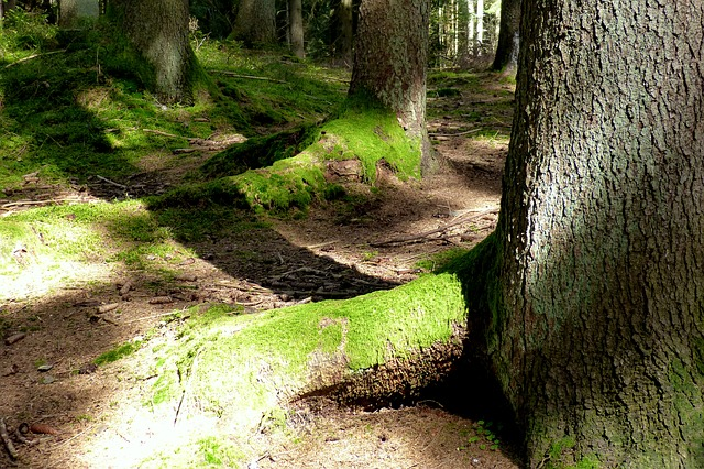 Forest, Tree Roots, Moss, Bemoost, Logs