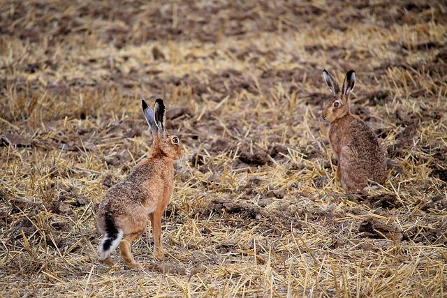 Rabbit, Field, Long Eared, Animals, Nature