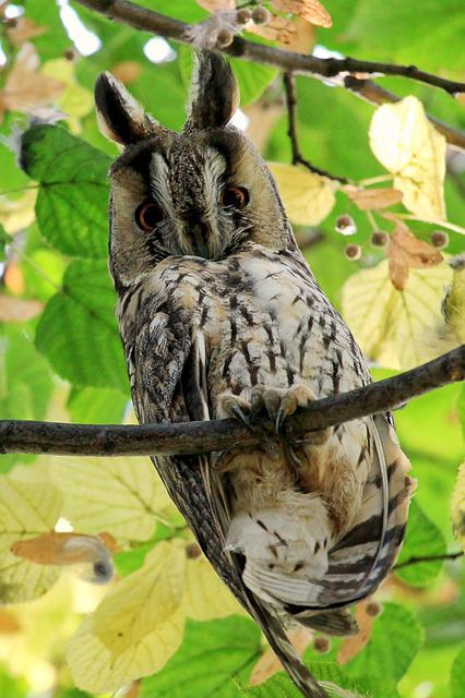 Long Eared Owl, Owl, Bird, Wild Bird