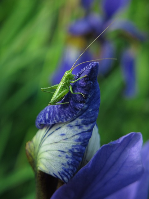 Long Probe Shrink, Grasshopper, Animal, Insect, Green