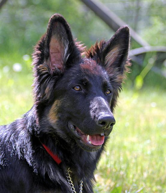 German Shepherd Dog, Long-haired, Youngster