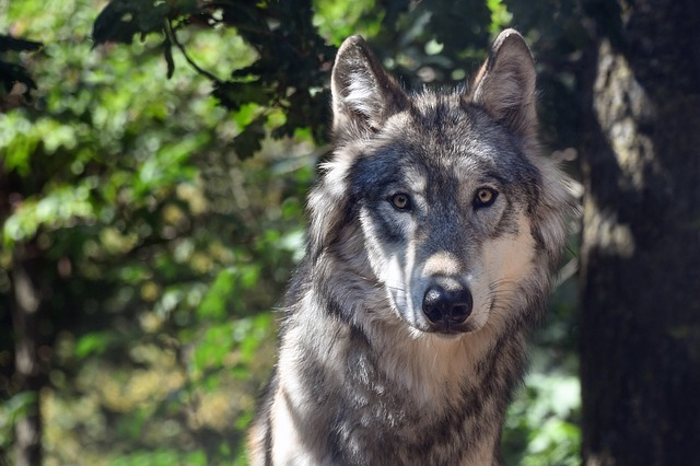 Wolf, Animal, Wild, Portrait, Carnivore, Predator, Look