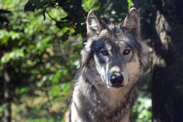 Wolf, Animal, Wild, Portrait, Carnivore, Predator, Look