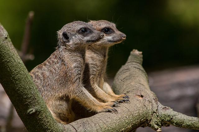 Animal World, Nature, Animal, Mammal, Meerkat, Look