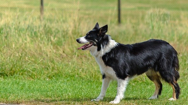 Dog, Border Collie, Looking, Playing, Obedient