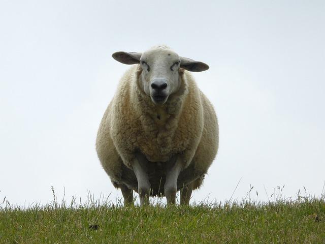 Dike, Sheep, Nordfriesland, North Sea, Grass, Lookout