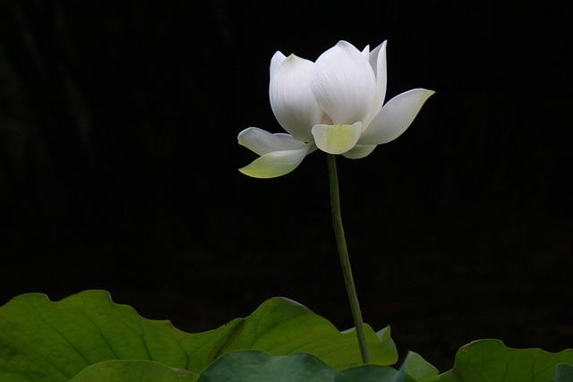 Ink Painting, Lotus, Flower, Botanical Garden