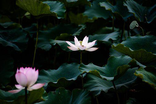 Lotus, Summer, Canton