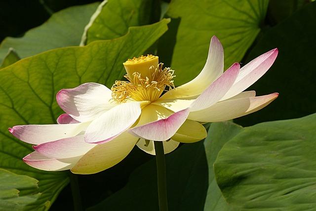 Flower, Lotus Flower, Lerlumbonaceae, Aquatic Plant