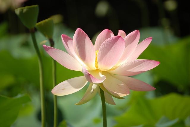 Lotus Flower, Garden, Park