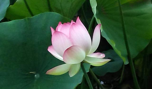Echo Park, Lotus, Lotus Flower