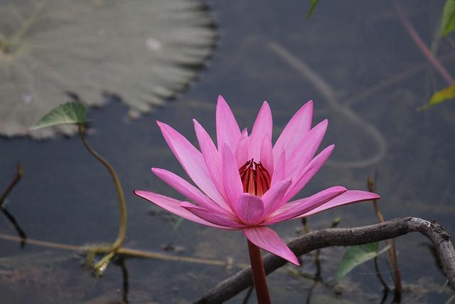 Flower, Lotus, Pink