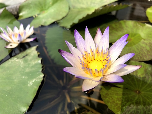 Plant, Flower, Lotus, Pond