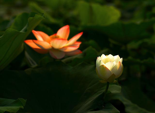 Lotus, Flower, Works