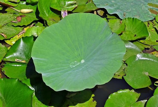 Lotus Leaf, Water Drop, Droplet, Green, Leaf, Aquatic