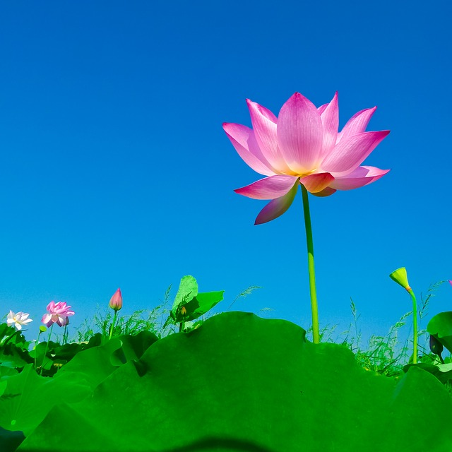 Lotus, Lotus Leaf, Flowering, Flower