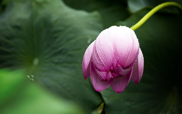 Lotus, Lotus Leaf, Nature, Flowers, Greenness
