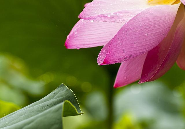 Lotus, Flowers, Nature, Lotus Leaf, Pink, Goods