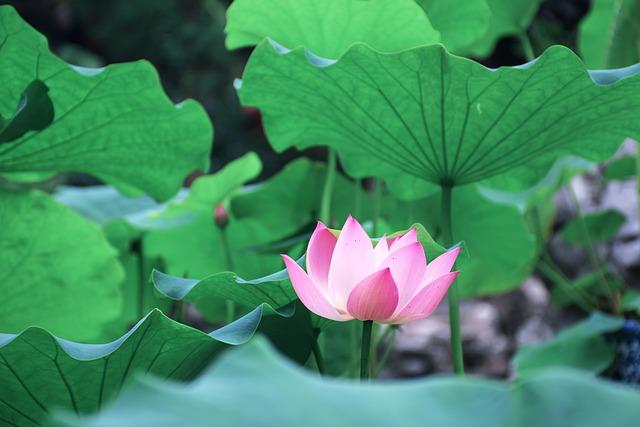 Lotus Leaf, Green, Views
