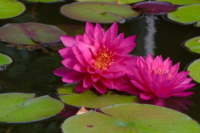 Pool, Lotus, Flower, Lily, Flora, Aquatic, Blooming