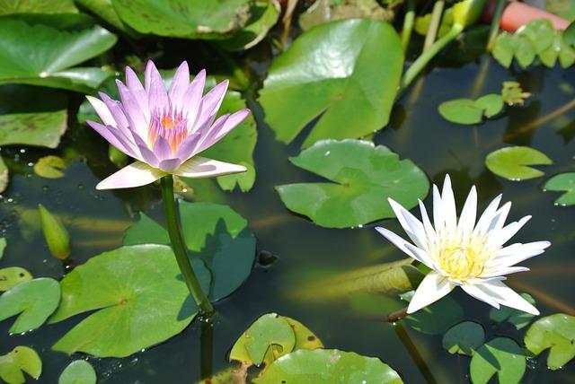 Lotus, Nymphaea Alba