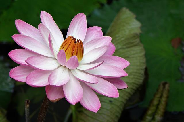 Nymphaea Alba, Lotus, Water Fu Yung, Pink