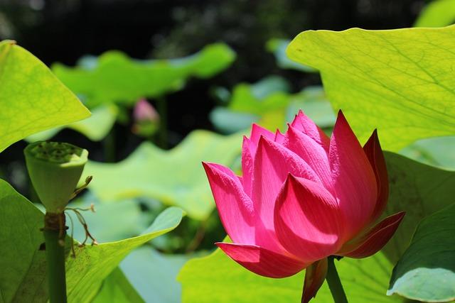 Summer, Lotus, Plant