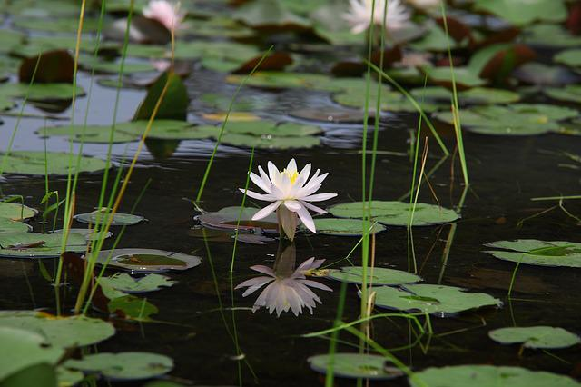 Plants, Flowers, Leaf, Nature, Water Lilies, Lotus
