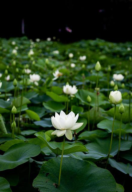 Green, Flower, Lotus Plants, Leaf, Nature, Lotus