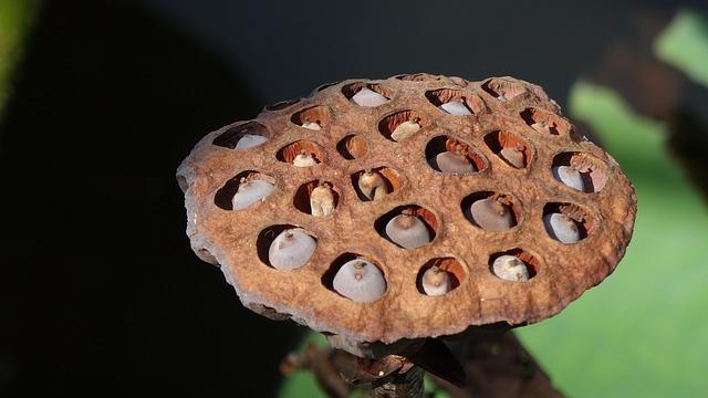 Dry, Lotus, Bud, Seeds, Lotus Nuts, Brown, Hole, Pond