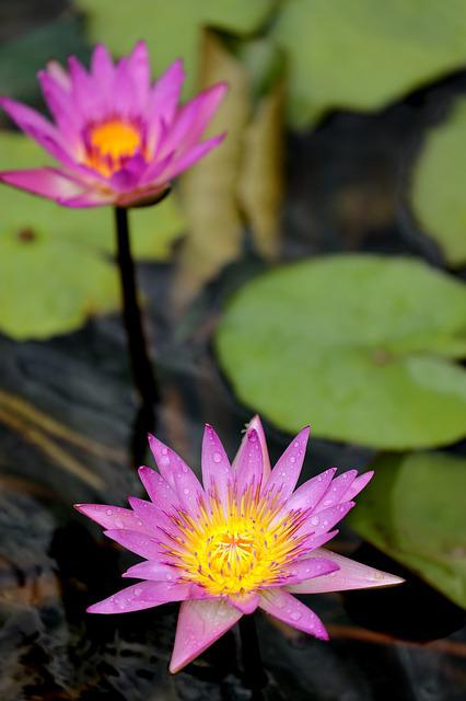 Lotus, Pool, Flora, Aquatic, Flower
