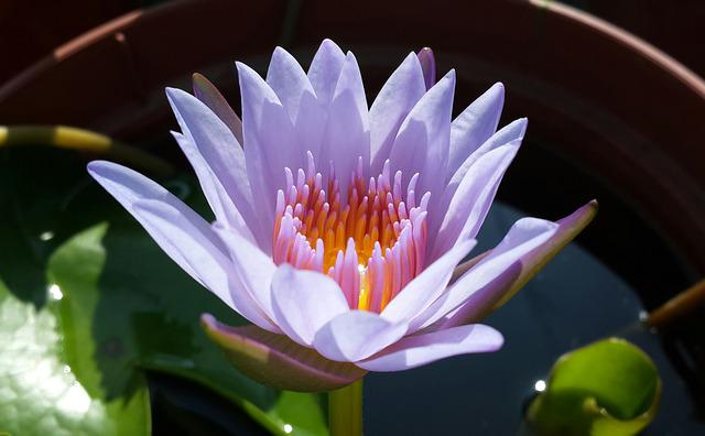 Lotus, Purple, Plant, Natural