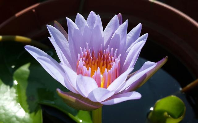 Lotus, Purple, Plant, Natural