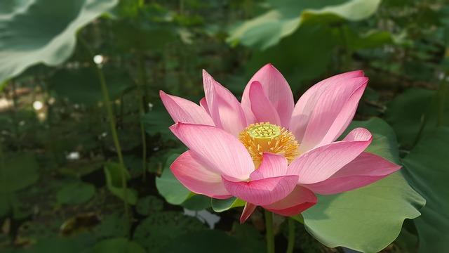 Flowers, Flower, Lotus, Nelumbo Nucifera, Sacred Lotus
